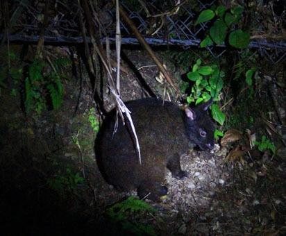 アマミノ夜行性の生き物およそ3~4匹_d0051533_23350489.jpg