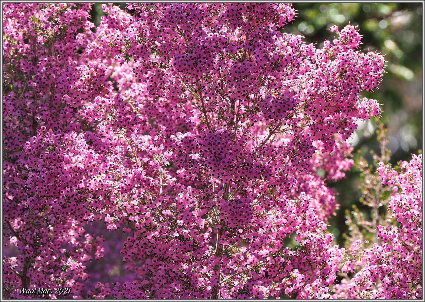 黄金色のサンシュユとピンクのジャノメエリカ_c0198669_18050788.jpg