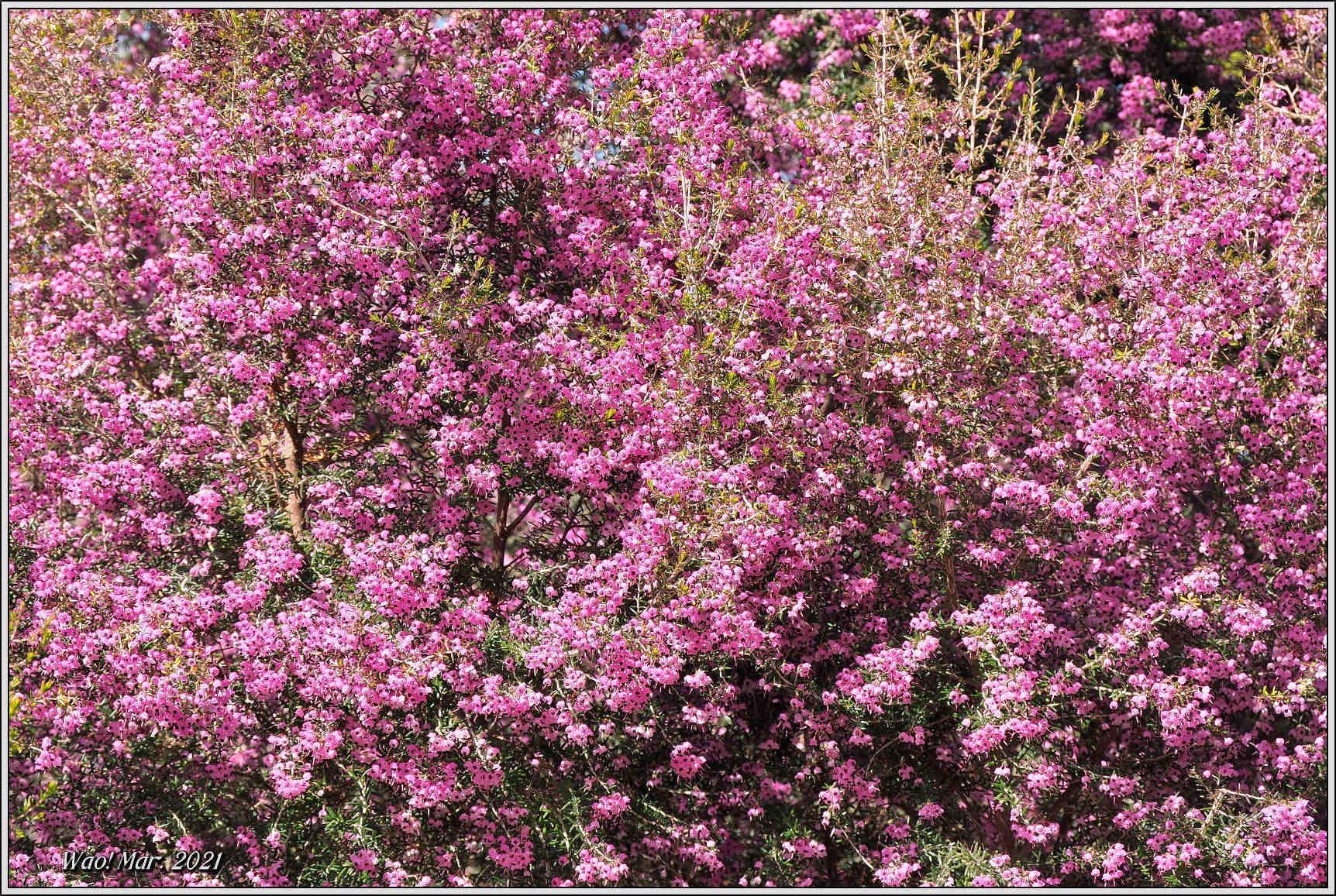 黄金色のサンシュユとピンクのジャノメエリカ_c0198669_18051011.jpg