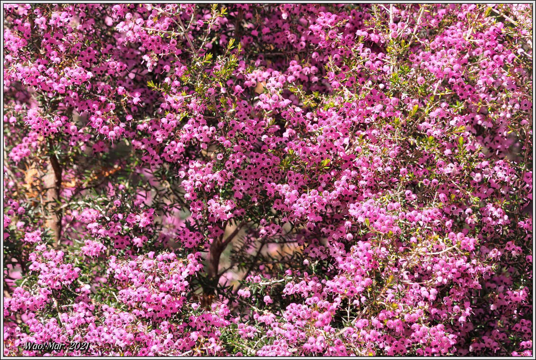 黄金色のサンシュユとピンクのジャノメエリカ_c0198669_18052091.jpg