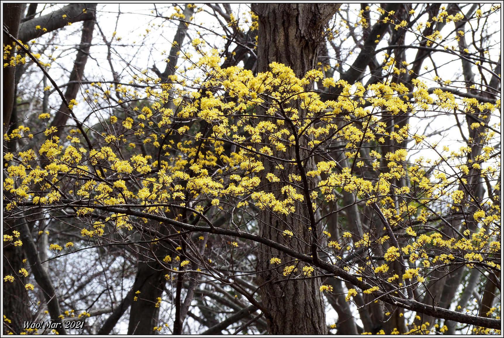黄金色のサンシュユとピンクのジャノメエリカ_c0198669_18053757.jpg