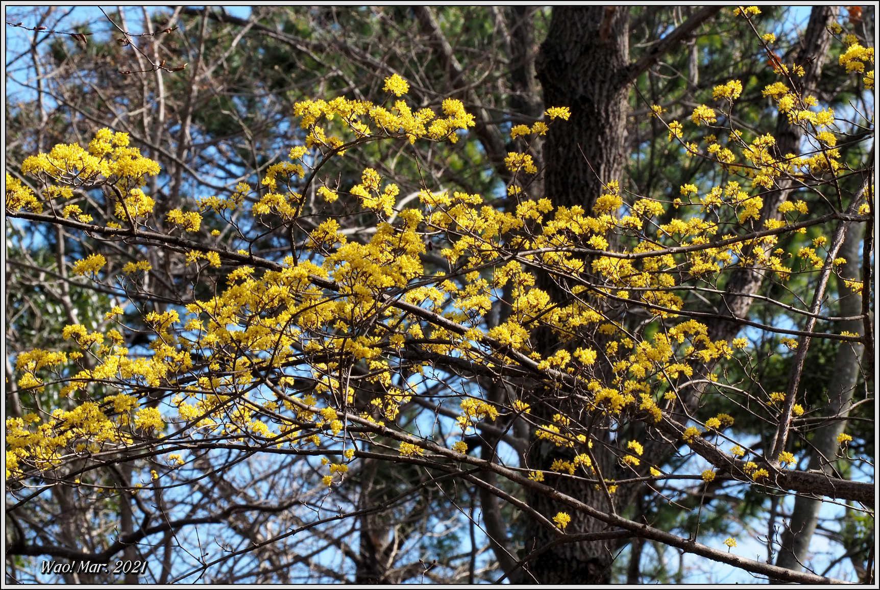 黄金色のサンシュユとピンクのジャノメエリカ_c0198669_18053947.jpg