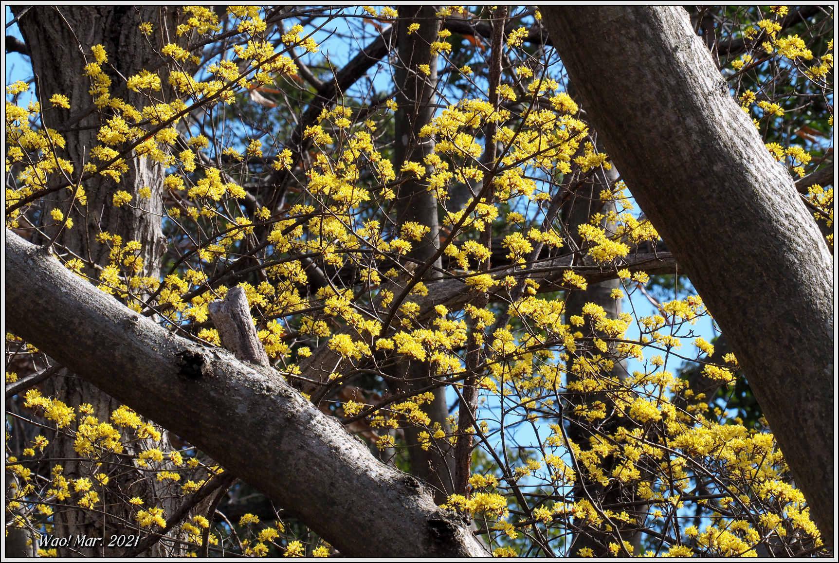 黄金色のサンシュユとピンクのジャノメエリカ_c0198669_18054226.jpg