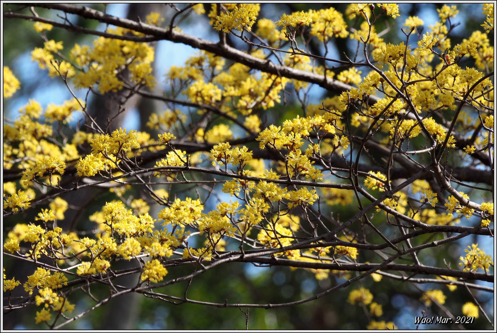 黄金色のサンシュユとピンクのジャノメエリカ_c0198669_18054719.jpg