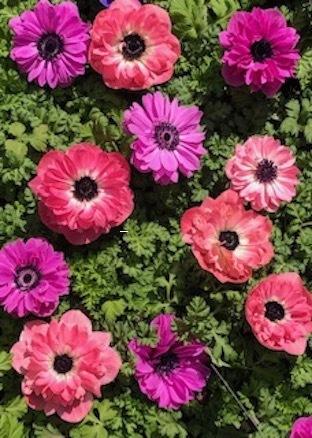 春のアネモネ_f0061394_16053280.jpg