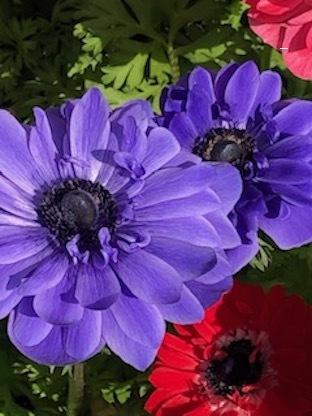 春のアネモネ_f0061394_16055053.jpg