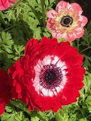 春のアネモネ_f0061394_16055471.jpg