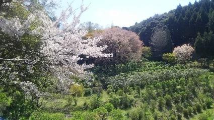 お花見ランチ会のお知らせ_c0280108_22500449.jpg