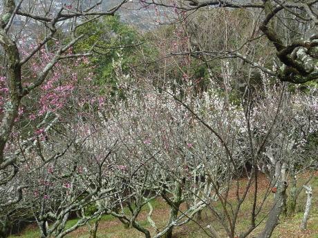梅と河津桜を見に行こう『塩屋から板宿』_c0218841_11294077.jpg