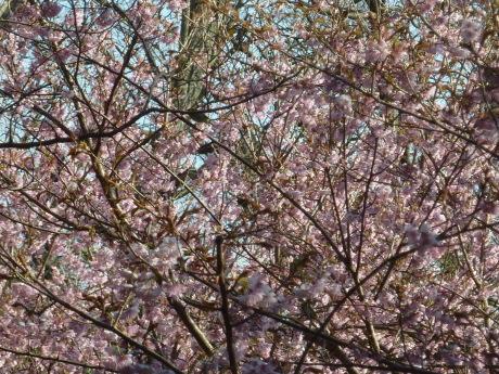梅と河津桜を見に行こう『塩屋から板宿』_c0218841_11452759.jpg