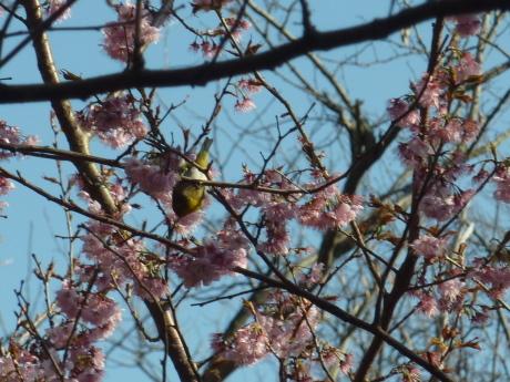 梅と河津桜を見に行こう『塩屋から板宿』_c0218841_11471386.jpg