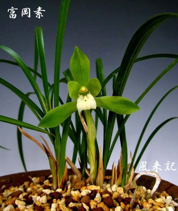 中国春蘭「富岡素」          No.2086_d0103457_21485709.jpg