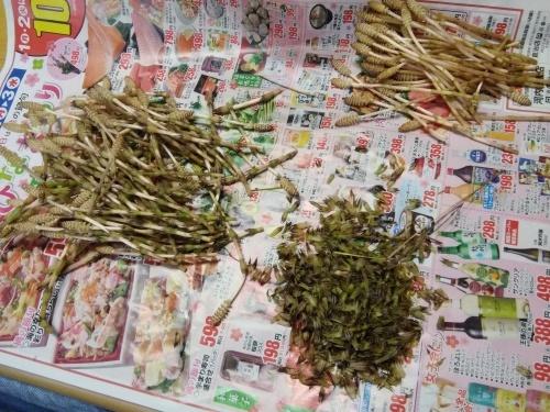 土筆取りと河津桜が満開になりました_f0395164_22133411.jpg