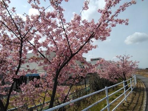 土筆取りと河津桜が満開になりました_f0395164_22182114.jpg