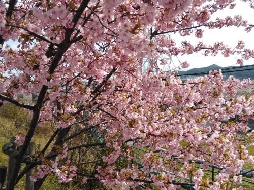 土筆取りと河津桜が満開になりました_f0395164_22192476.jpg
