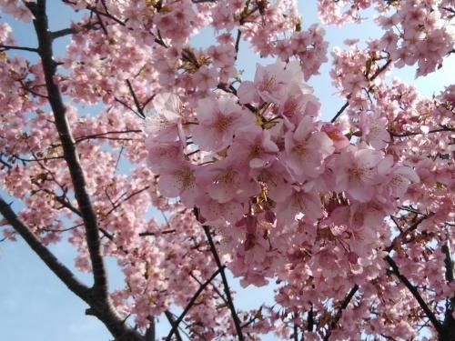 土筆取りと河津桜が満開になりました_f0395164_22200008.jpg