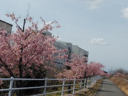 土筆取りと河津桜が満開になりました_f0395164_22214117.jpg