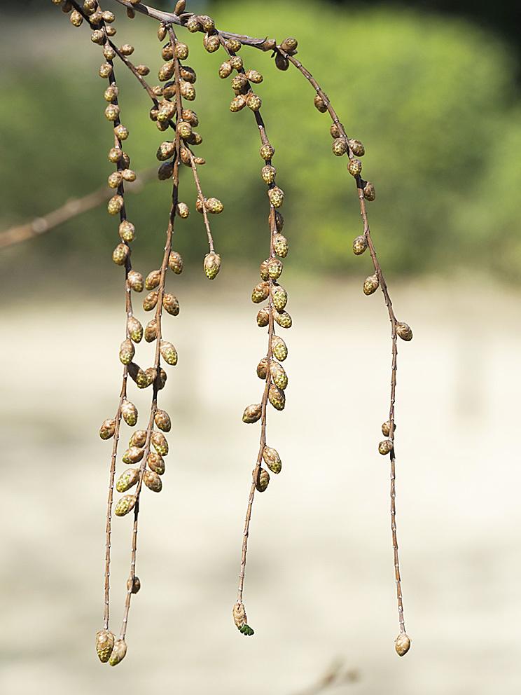 ラクウショウとメタセコイアの花をくらべる(2)_d0163696_17521180.jpg