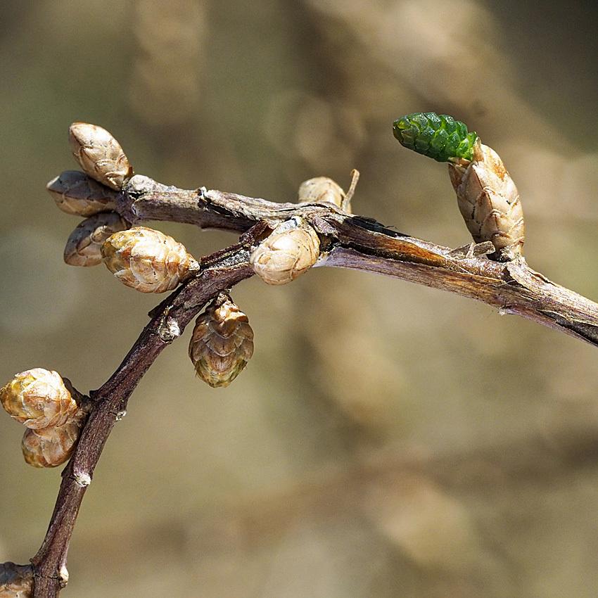 ラクウショウとメタセコイアの花をくらべる(2)_d0163696_17531011.jpg