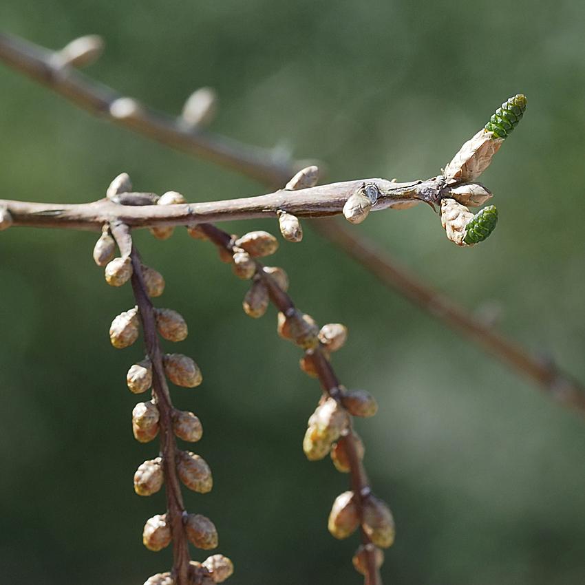 ラクウショウとメタセコイアの花をくらべる(2)_d0163696_17531931.jpg