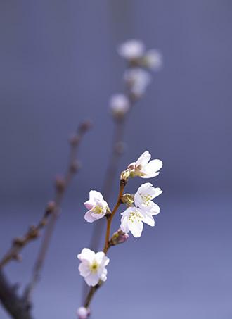 桜咲く_e0250154_11011504.jpg