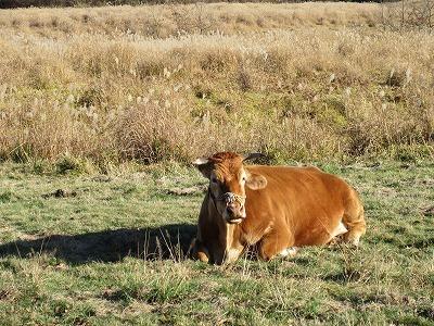 やまなみハイウェイで牛ちゃん、発見!_b0143308_21392333.jpg