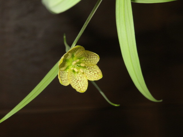 春緩む花々 バイモユリ_f0329849_13303392.jpg