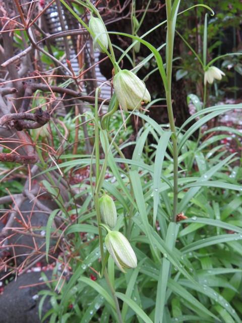 春緩む花々 バイモユリ_f0329849_13315302.jpg