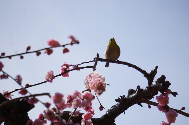 梅に鶯 ~春到来~_a0113003_09225496.jpg
