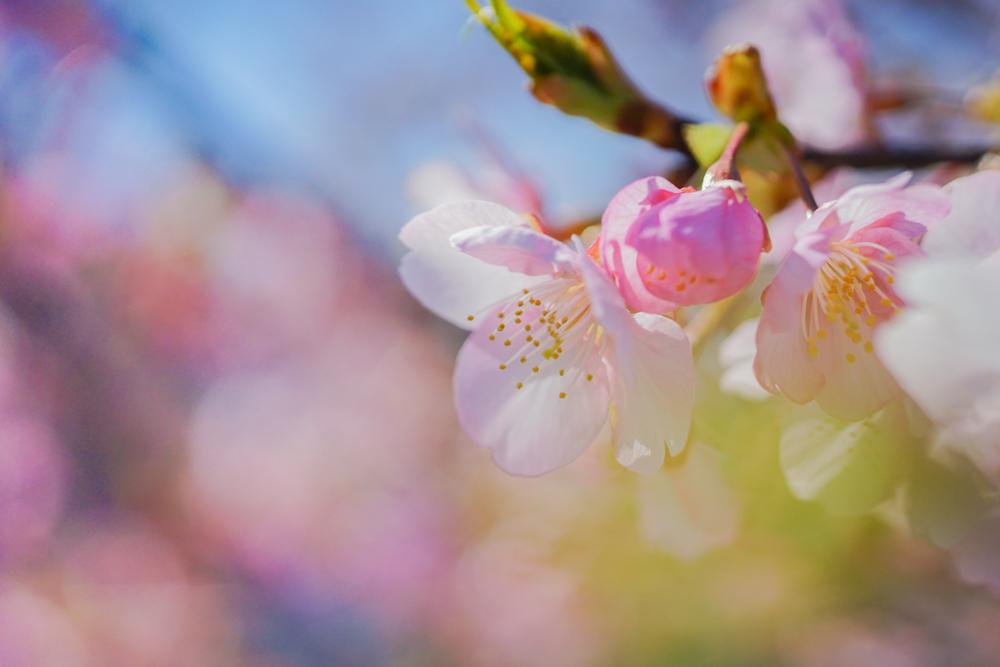 河津桜(白山市)_c0220824_10255296.jpg