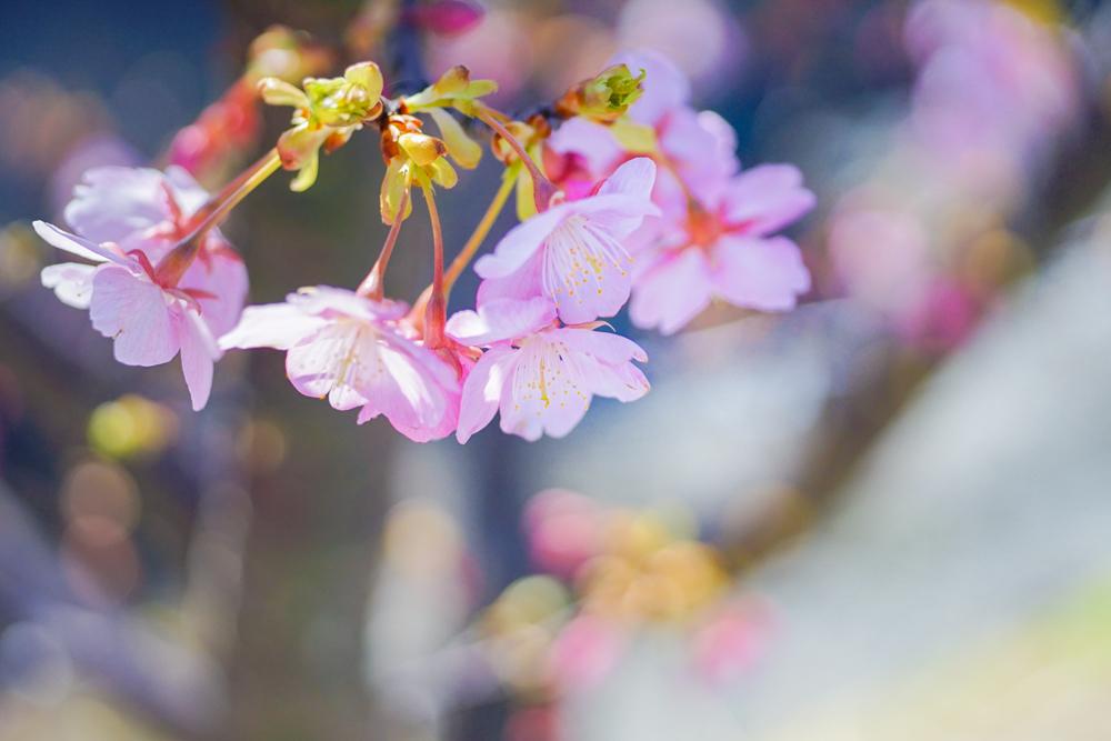 河津桜(白山市)_c0220824_10255832.jpg