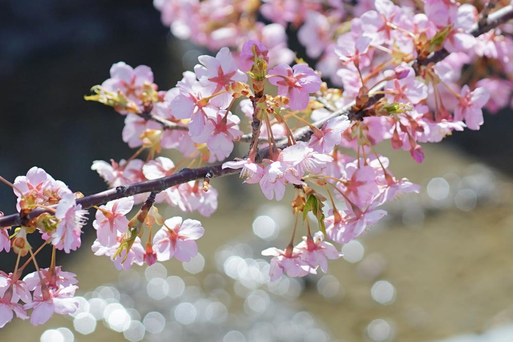 河津桜(白山市)_c0220824_10260211.jpg