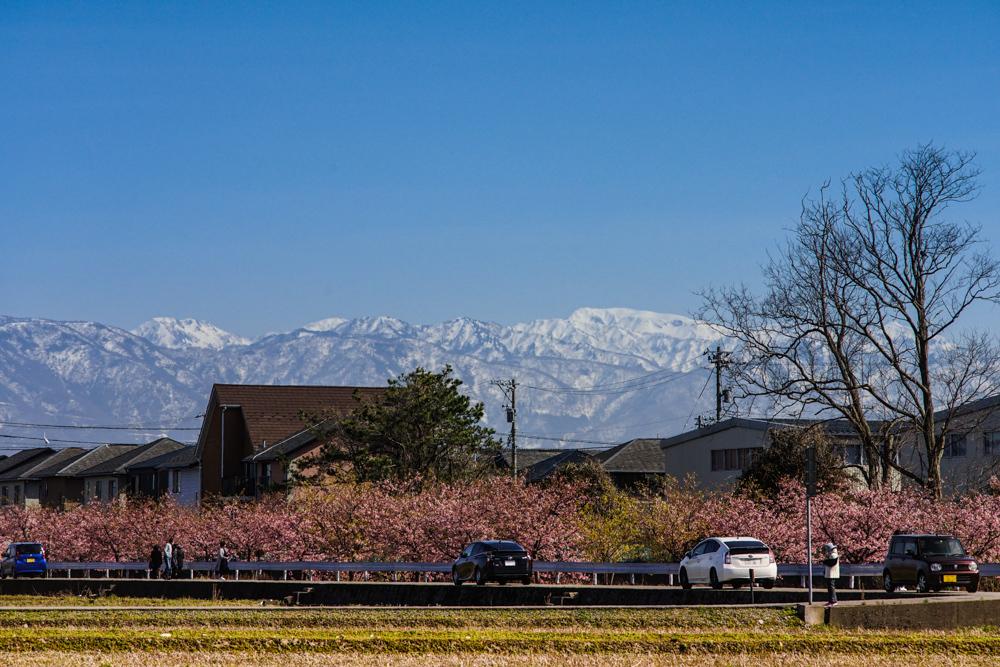 河津桜(白山市)_c0220824_10260885.jpg