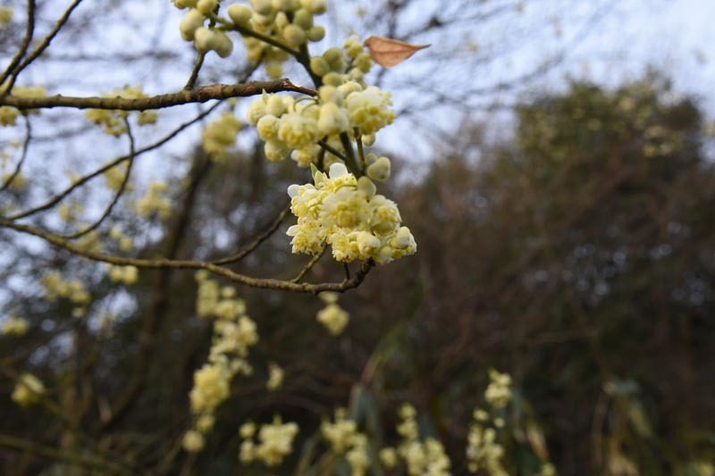 21年早春の自然(16)…うす黄緑の花_c0062934_19360172.jpg