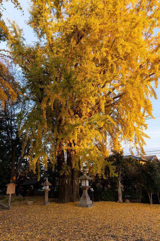 2020紅葉きらめく京都 黄色い絨毯(三栖神社)_f0155048_00080330.jpg