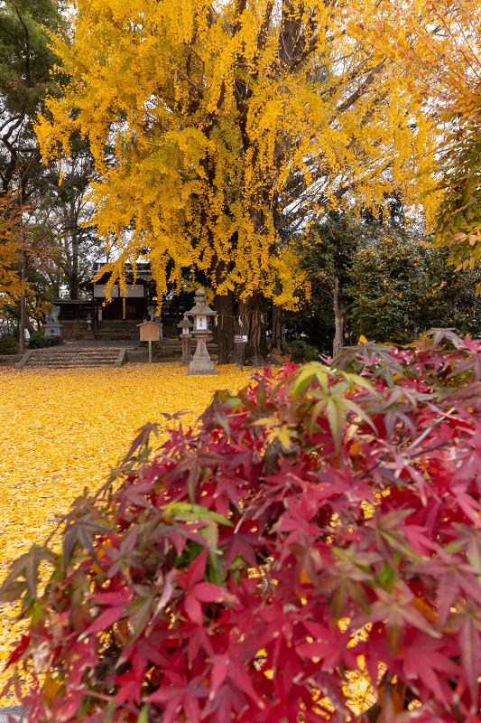 2020紅葉きらめく京都 黄色い絨毯(三栖神社)_f0155048_00085971.jpg