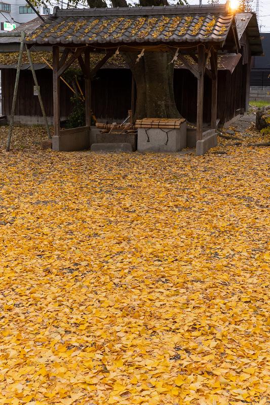 2020紅葉きらめく京都 黄色い絨毯(三栖神社)_f0155048_00091344.jpg