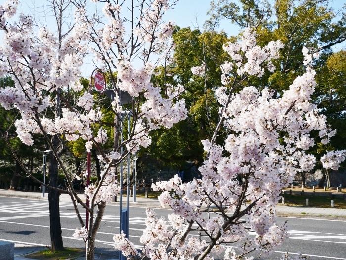 春めき桜  2021-03-19 00:00  _b0093754_23291168.jpg