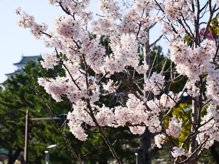 春めき桜  2021-03-19 00:00  _b0093754_23292425.jpg