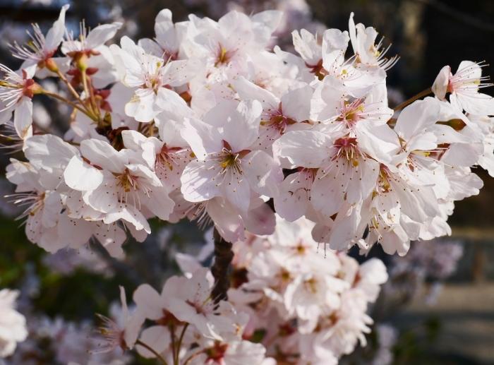 春めき桜  2021-03-19 00:00  _b0093754_23294440.jpg