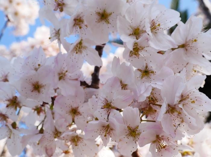 春めき桜  2021-03-19 00:00  _b0093754_23295508.jpg