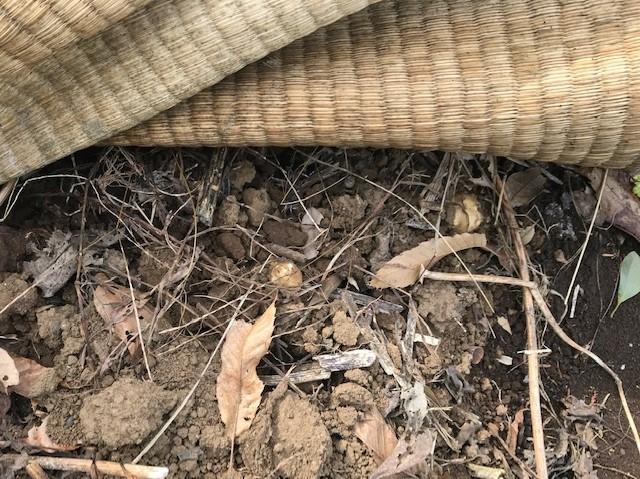 キクイモ植え付け、ネギなど種まき(3・9~12)_c0014967_11575590.jpg