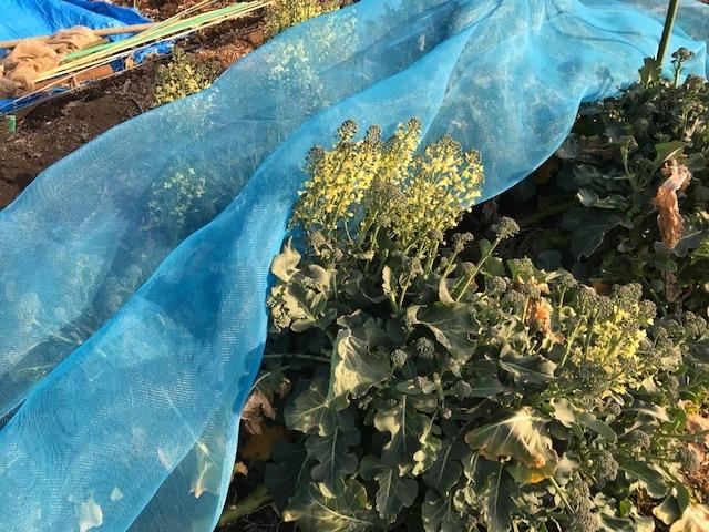 キクイモ植え付け、ネギなど種まき(3・9~12)_c0014967_12080770.jpg