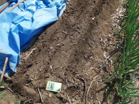 キクイモ植え付け、ネギなど種まき(3・9~12)_c0014967_12102585.jpg