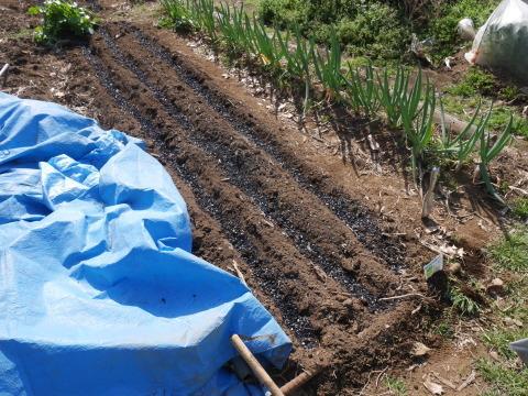 キクイモ植え付け、ネギなど種まき(3・9~12)_c0014967_12103793.jpg