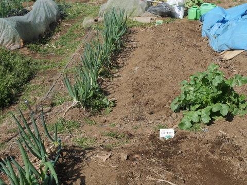キクイモ植え付け、ネギなど種まき(3・9~12)_c0014967_12112558.jpg