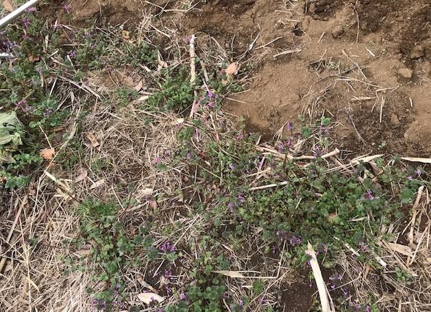 キクイモ植え付け、ネギなど種まき(3・9~12)_c0014967_12121085.jpg
