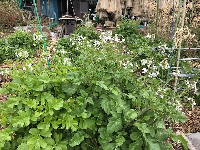キクイモ植え付け、ネギなど種まき(3・9~12)_c0014967_12131237.jpg