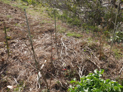 キクイモ植え付け、ネギなど種まき(3・9~12)_c0014967_12144204.jpg