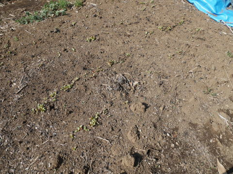キクイモ植え付け、ネギなど種まき(3・9~12)_c0014967_12152118.jpg